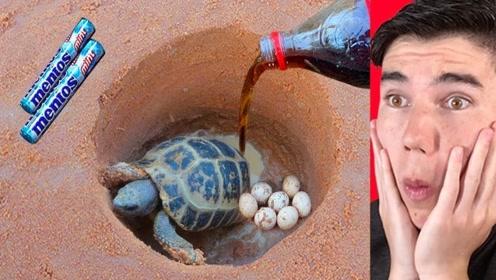 小伙仅用曼妥思和可乐,就让乌龟乖乖出洞,好奇怎么做到的?