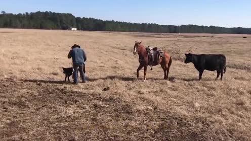 母牛想要攻击老外!旁边的马儿做法让人感动!真是太有灵性了!