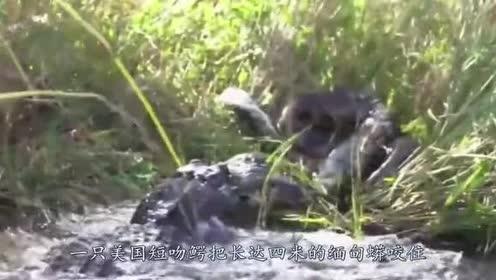 沼泽巨鳄把6米缅甸蟒当玩具!空中狠甩!拖进水中溺死