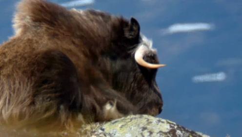 北极出现一猛兽,一吃东西就打瞌睡,面对狼主动攻击不逃跑