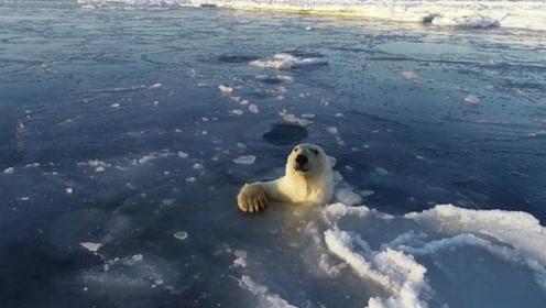 呆萌可爱!北极熊追着无人机,钻出一个又一个冰窟窿