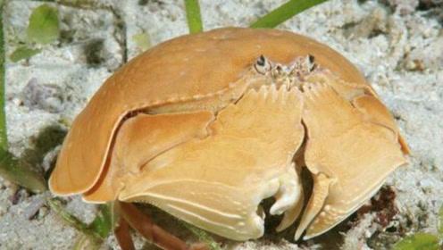 """同样是螃蟹,为何这个""""馒头蟹""""却被渔民嫌弃,捡到都会随手扔掉!"""