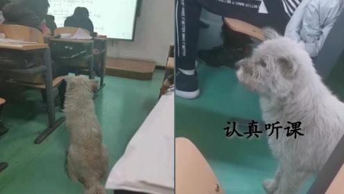 狗狗进大学课堂蹭课微积分 还坐前排 学生:它可能要考试了!