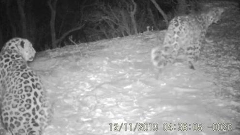实拍!濒危东北豹野外配对繁殖 全球仅剩约100只