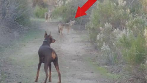 这才是真正的杜宾,面对5条郊狼一点不怂,反而是狼群不敢应战!