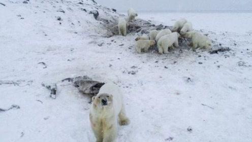 俄罗斯村庄被56只北极熊包围,大多瘦骨嶙峋被迫进村,当地居民安危成焦点