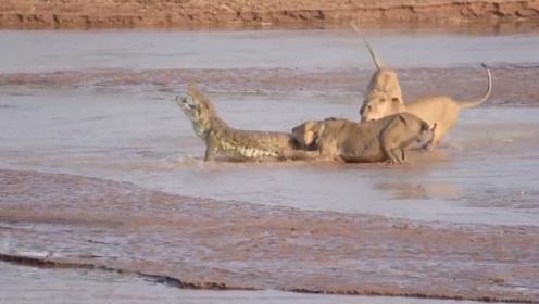 三只狮子浅滩捕杀鳄鱼,平时嚣张的鳄鱼,遇到狮子后也开始慌了