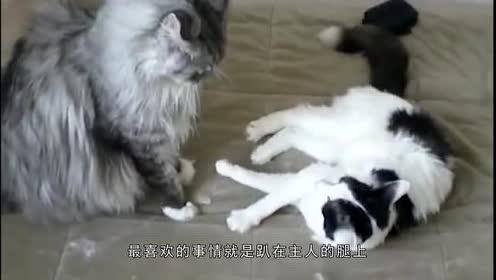 看似凶狠!实则蠢萌的要命!猫咪巨无霸——缅因猫!