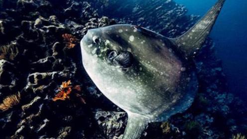 让人哭笑不得的鱼,被捕食却毫无知觉,很傻但不会灭亡