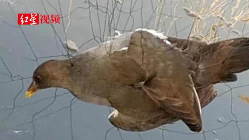河北白洋淀现5000多米捕鸟网 当地部门已启动执法程序