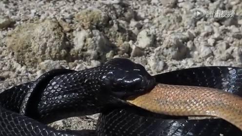 实拍2.5米长森林王蛇绞杀剧毒响尾蛇后吞食