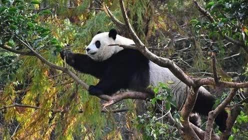 熊猫小公主竟然为吃变身暴力女金刚,硬是把2层楼高的茄冬树拆了