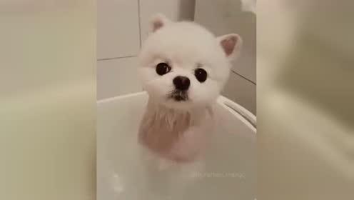 萌萌双眼皮狗,忍着睡意让主人给自己洗完澡