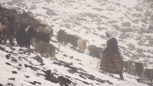 高原上最惨烈迁徙,羊群困在这里三天三夜被神秘牧羊人营救