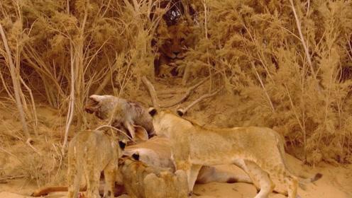 幼狮三姐妹以为找到了美食 却不知危险就在身边