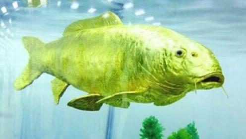台湾海域惊现黄金鱼,体内含24K纯金!真相是?