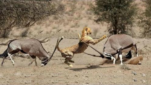 实拍:猎豹大战非洲大羚羊,胜负出人意料!爪牙拼不过刺刀!