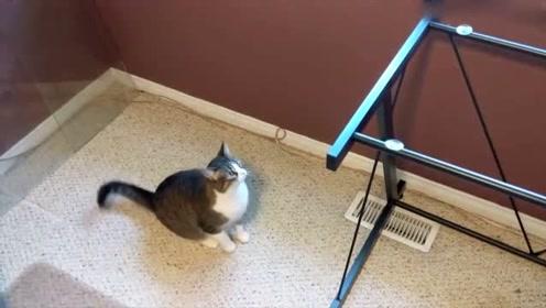 蠢萌猫咪跳桌踩空 不知玻璃桌面已被主人拿走
