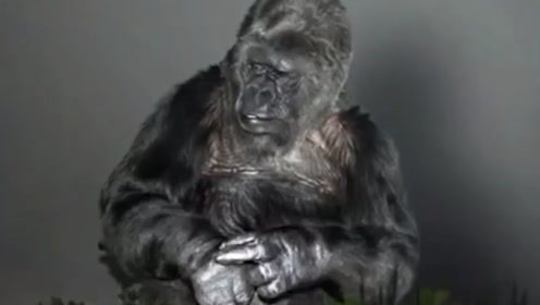 最聪明猩猩享年46岁!在斯坦福大学完成学业曾登国家地理封面