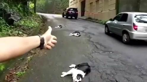 经过训练后就是不一样 主人一声枪响后看狗子们的神反应