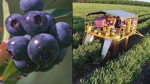 国内外蓝莓采摘有这么大差别?网友:怪不得蓝莓价格贵!