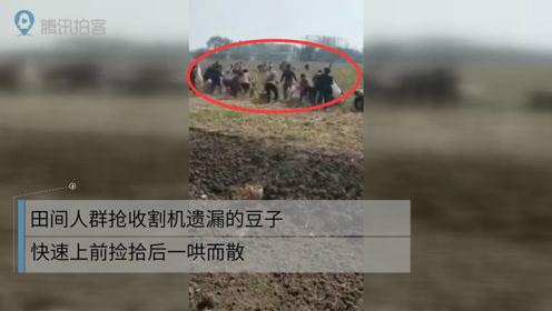 田间人群抢收割机遗漏的豆子 快速上前捡拾后一哄而散