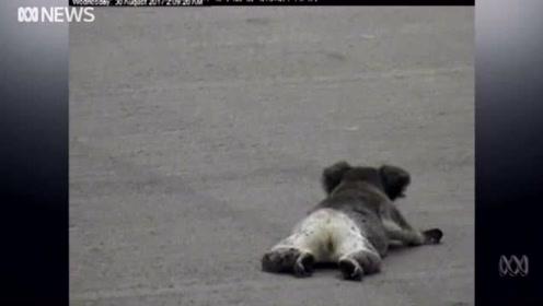 澳洲动物交通事故 高速货车轧死受伤考拉