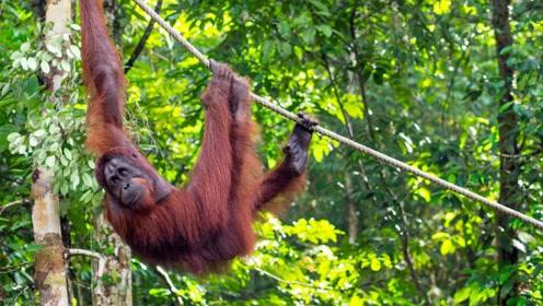 婆罗洲热带雨林,寻找人类近亲红毛大猩猩