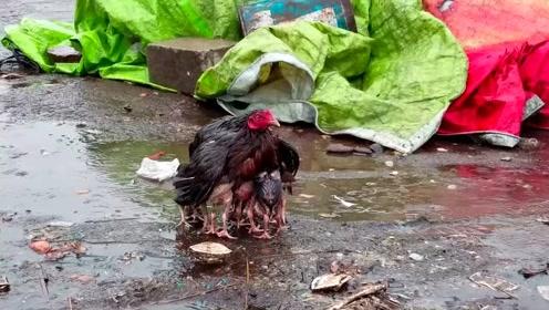下雨也别怕!鸡妈妈用羽翼裹住宝宝自己淋雨_01