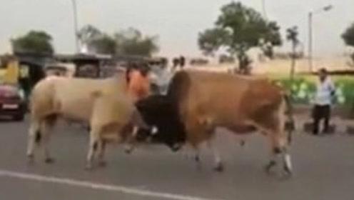 """印度两""""神牛""""当街互顶 撞翻了车都没人拉架"""