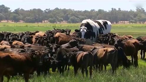 近一吨半重的巨型牛被屠宰场拒收还出了名