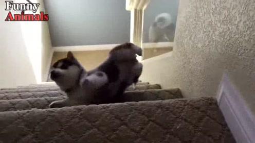 这些狗狗上下楼梯的样子太搞笑