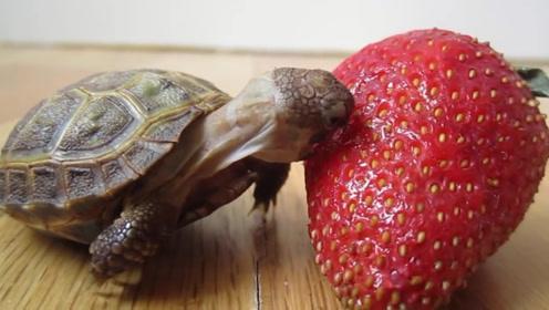 萌萌的小乌龟吃草莓,嘴巴太小一直咬不到,真替它着急