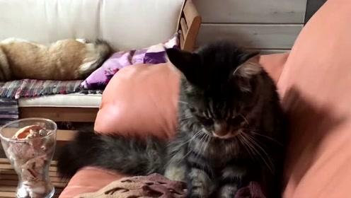 平时打打闹闹的两货,见柯基睡着了猫咪竟如此安静,搞不懂的友谊!