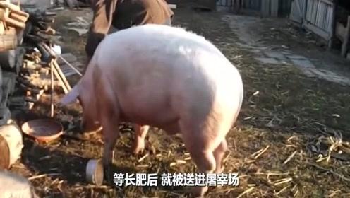 猪虽然看起来笨笨的,为何能活4000万年不灭绝?难道他真的笨吗?