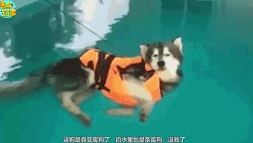 看这狗不是纯种的,别人的狗一见到水直接下去,这狗死活不去