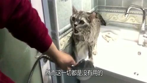 猫咪刚洗完澡,主人拿来吹风机,喵:大胆!快给朕住手吶!