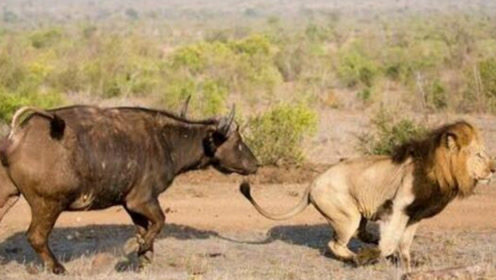罕见!犀牛追赶狮子,狮子只顾逃跑却不反抗,这还是草原之王吗?