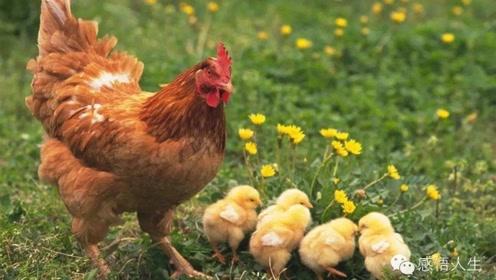 鸡身上这四个部位一定不能吃,你都知道吗?了解一下!