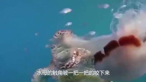 西游记通天河里的老龟原型,专吃滑溜溜的水母,全靠嘴里的东西