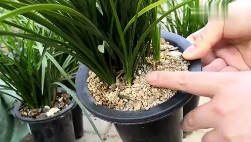 同样的兰花品种,不同的植料,种植效果会有什么不同?对比看下