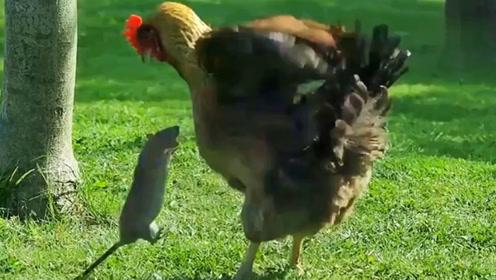 母鸡和老鼠干架 被老鼠一套组合拳打跑
