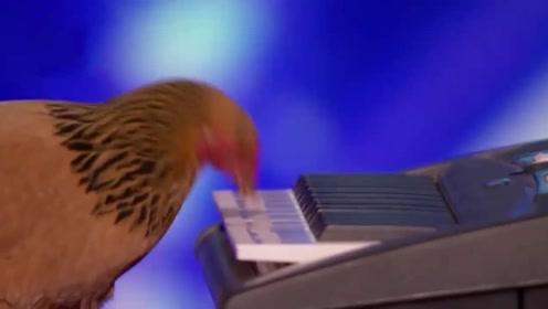 国外一只母鸡,因弹琴太好听,被邀请上美国达人秀表演,太牛了!