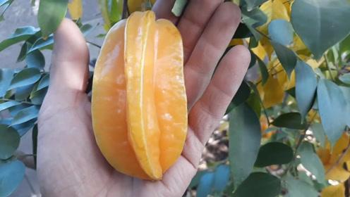 几颗杨桃在果树上快要成熟了,看这一颗好大啊