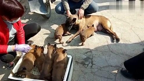 农村狗市,40天小马犬要500不还价,引众人围观