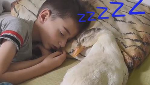 5岁宝宝跟大鹅一起睡觉,两小只醒来的一刻,我也想养鹅了