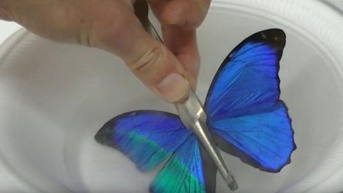 神奇!蝴蝶翅膀放进液氮中,现象不可思议,你知道原理吗?