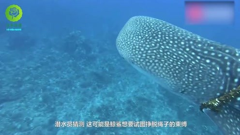 鲸鲨被渔网缠住,人类冒险去解救,松开绳子的那一瞬间,太感人
