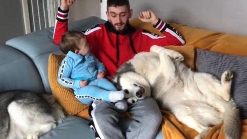 家里有了宝宝之后,哈士奇感觉自己地位降低了,还跟孩子争宠