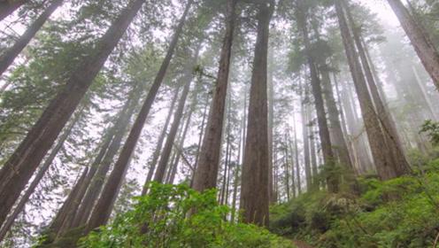 全球最大的树:重达2800多吨,这棵树刚存在时,中国还在商朝
